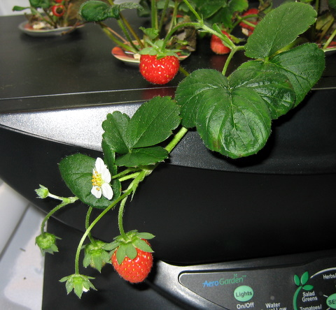 photo:  aerogardenstrawberries.com