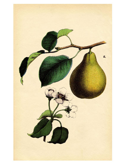 vintage pear illustration