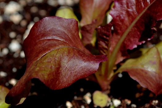 red romaine lettuce photograph