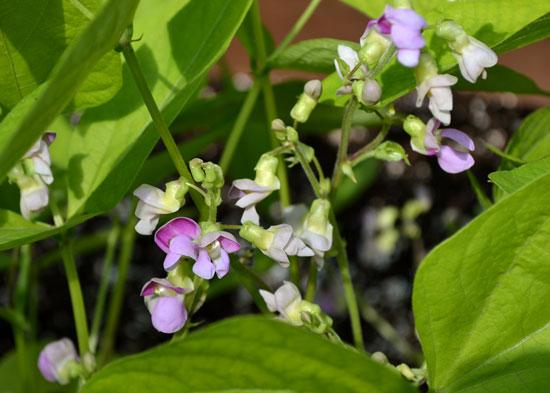 greenbean blossoms