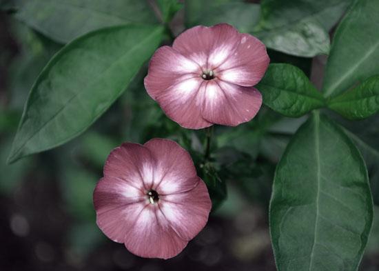 phlox flower photograph watercolor