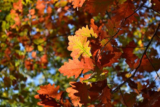 oak branch autumn