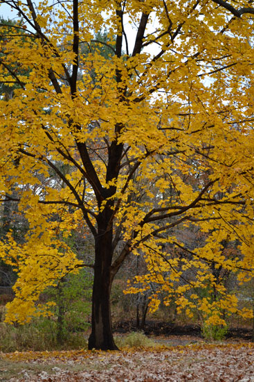 autumn tree with gold leaves