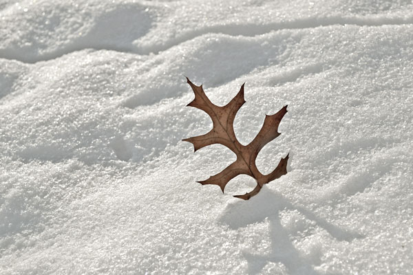 standing oak leaf in snow