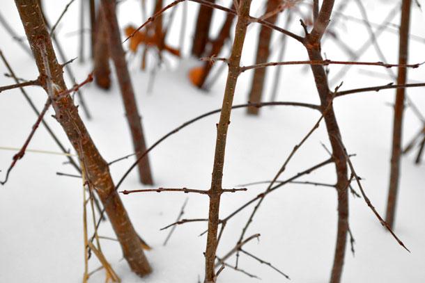 winter bush in snow