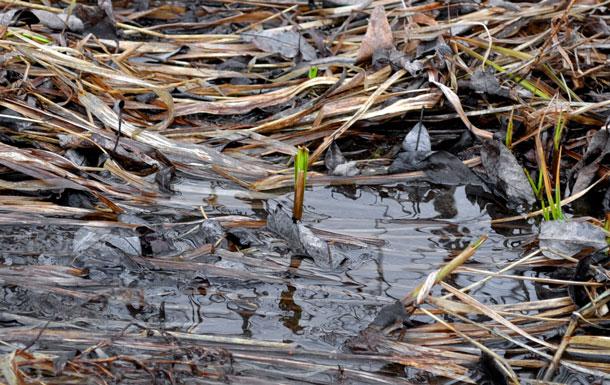 reeds spring
