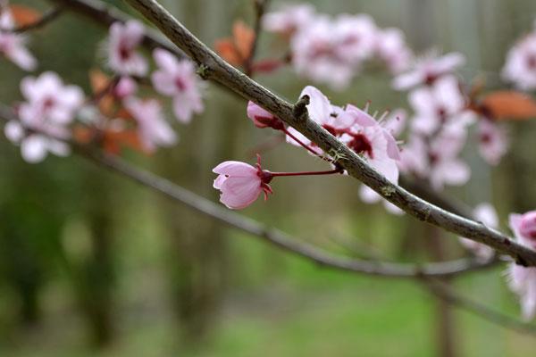 budding tree in spring