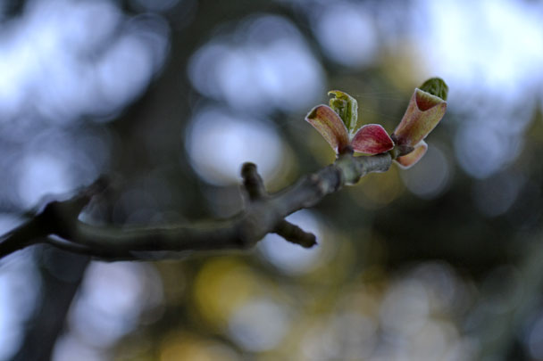 bud tree bokeh